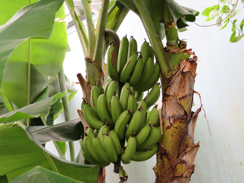 the sight of these green bananas ....it means i found a very warm spot in this rainy cold weather